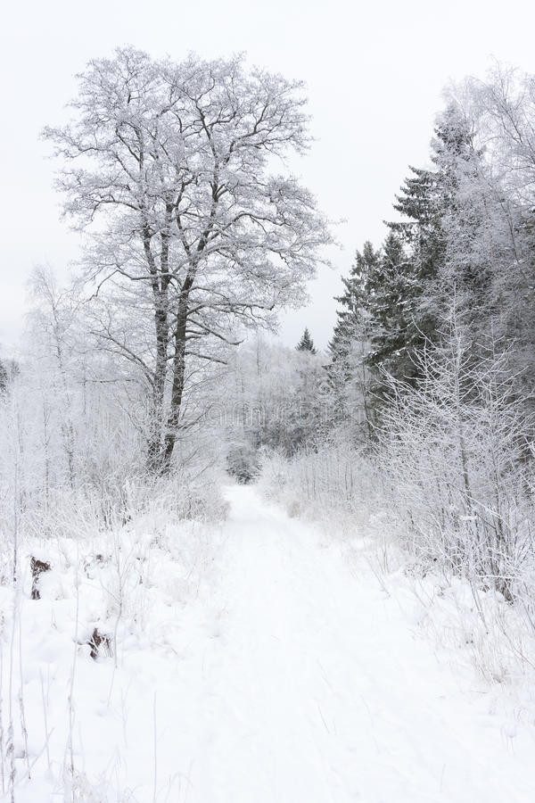 Snowy trees in winter forest royalty free stock images