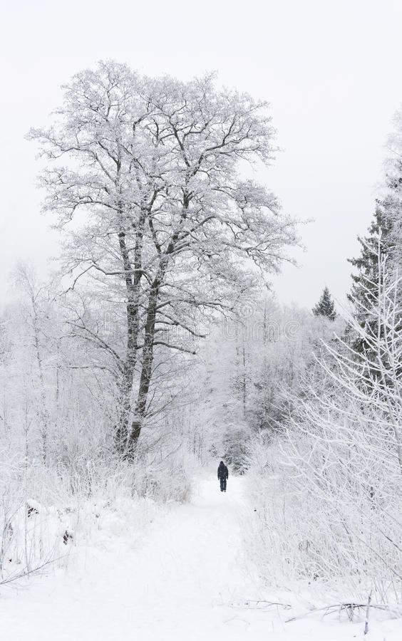 Snowy trees in winter forest stock photography