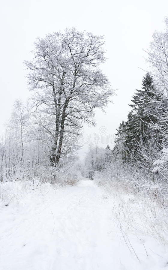 Snowy trees in winter forest royalty free stock photo
