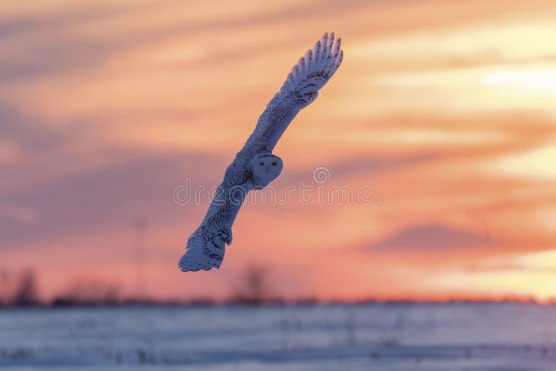 Snowy in volo immagine stock