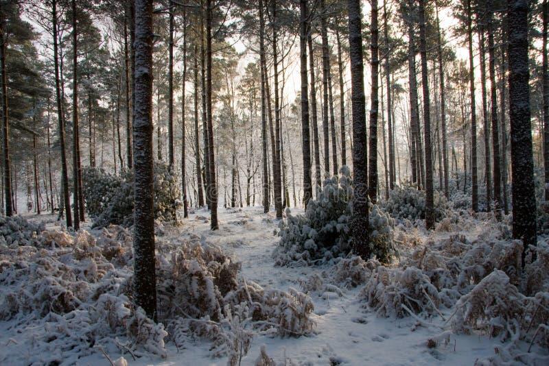 Snowy-Wald stockfotografie