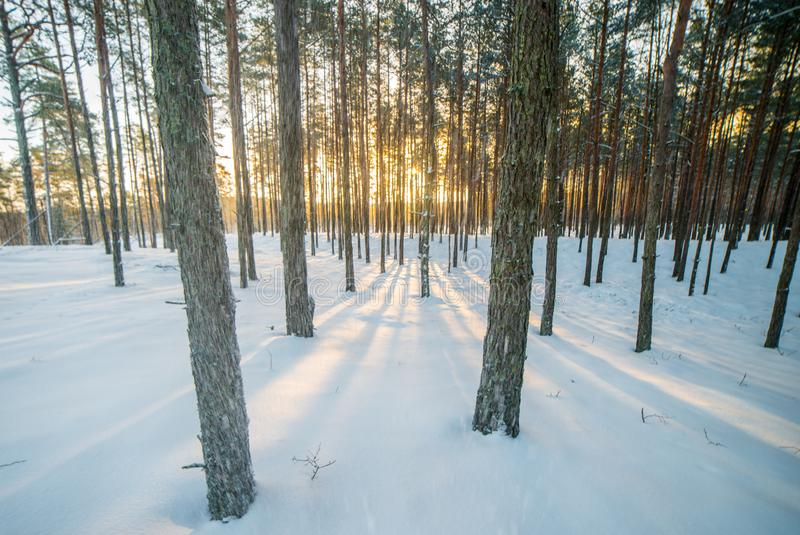 Snowy weather in forest, natural sunrise light. Holiday season stock photos