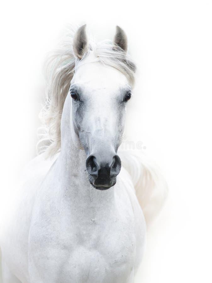 Snowy white arabian stallion stock images