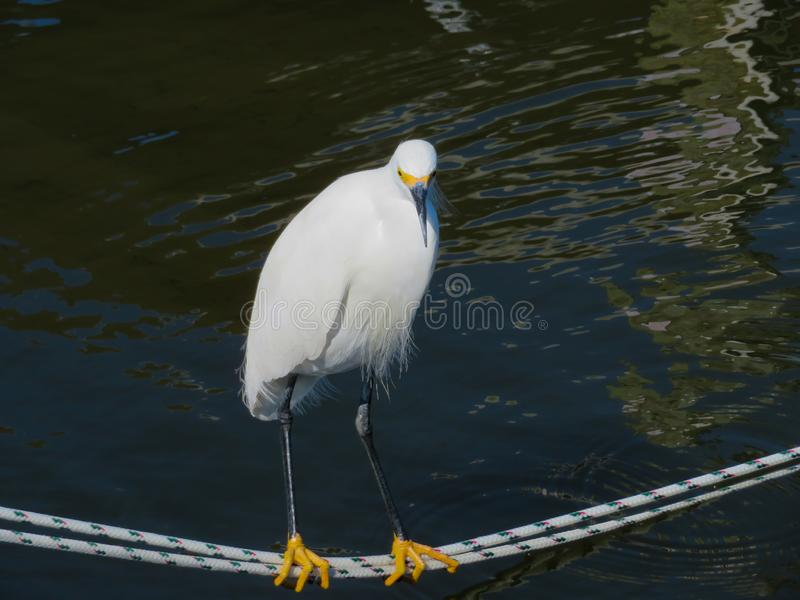 Snowy White Egret standing on a line stock photo