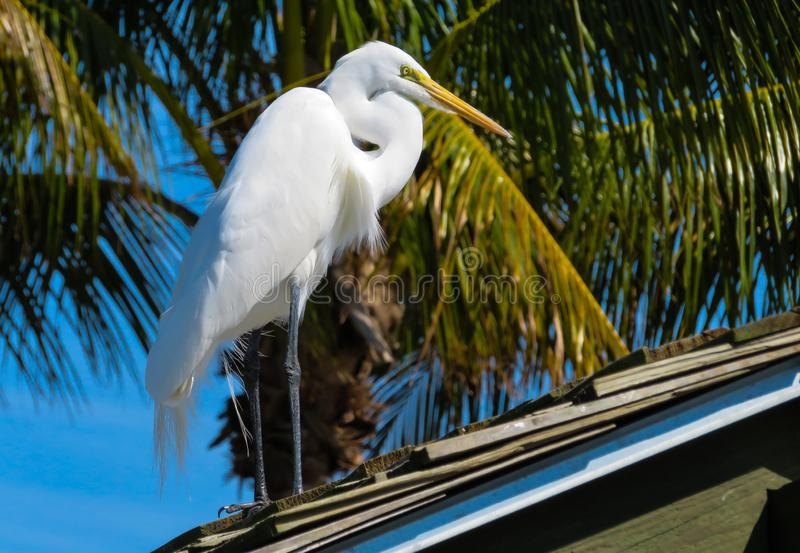 Snowy White Egret standing on a roof stock image