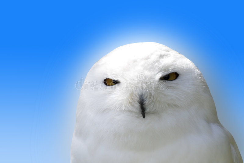 Download Snowy white owl stock photo. Image of stare, feather, bird - 5212676