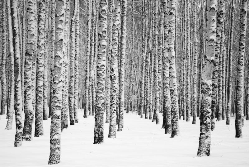 Snowy winter birches black and white stock images
