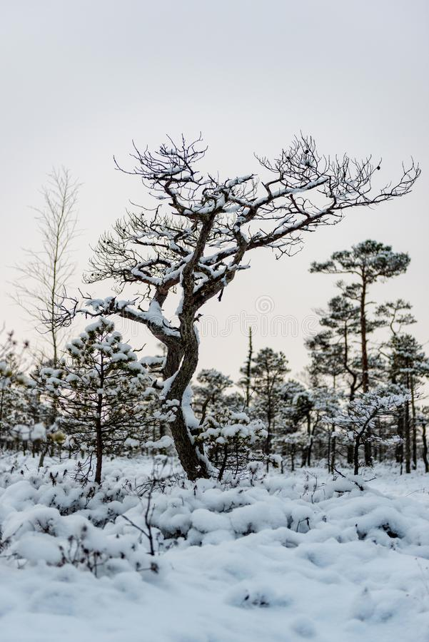 Snowy winter day at swamp. Small swamp trees. stock photography