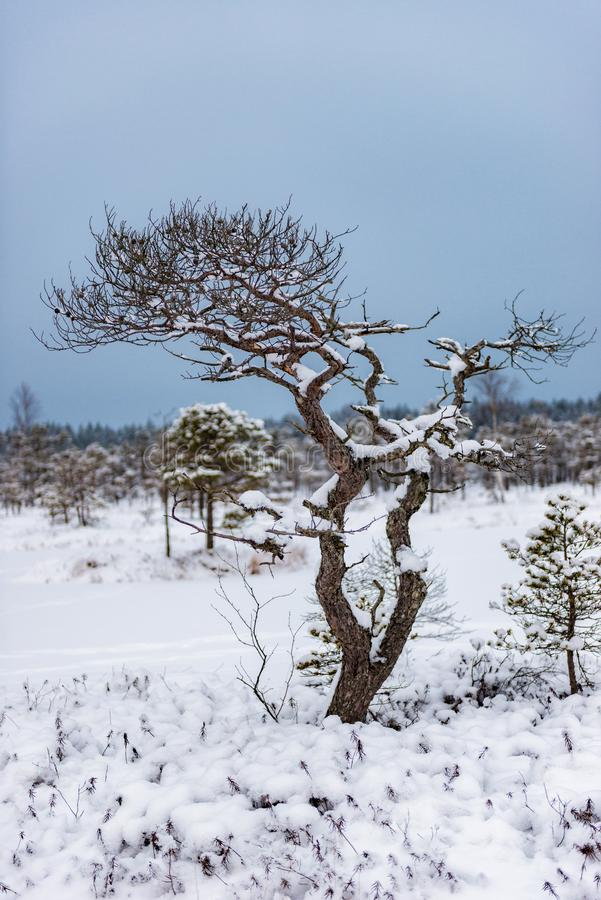 Snowy winter day at swamp. Small swamp trees. royalty free stock photo