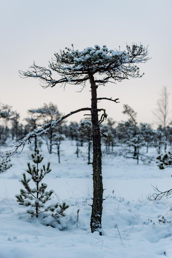 Snowy winter day at swamp. Small swamp trees. stock photos
