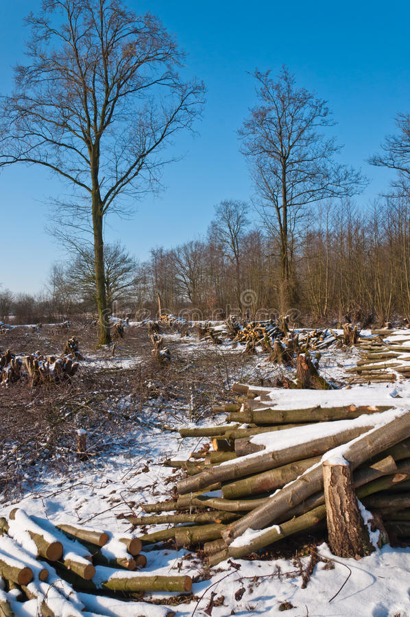 Snowy winter forest after clearcutting