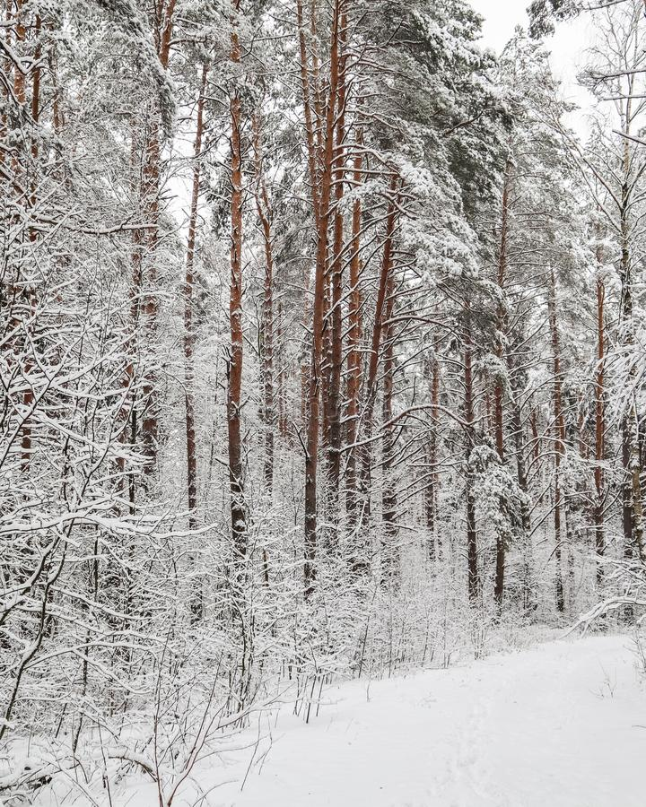 Snowy winter forest. Snow covered branches trees and bushes.  stock photos