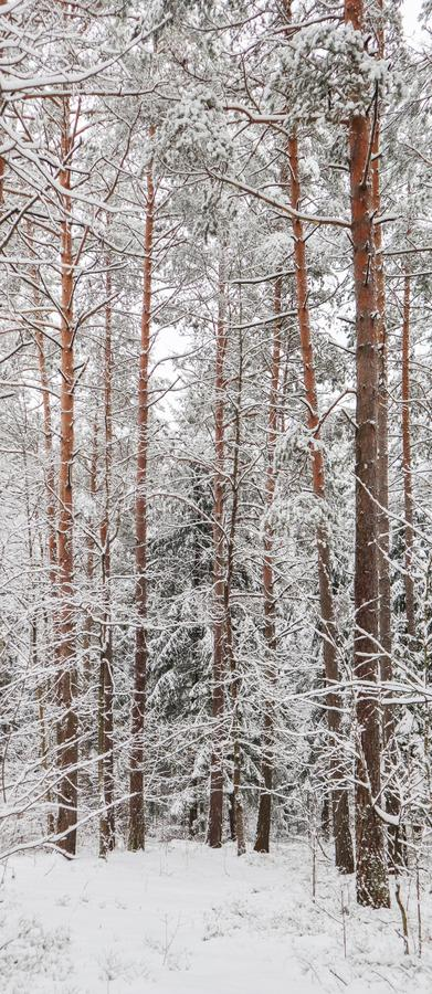 Snowy winter forest. Snow covered branches trees and bushes royalty free stock photos
