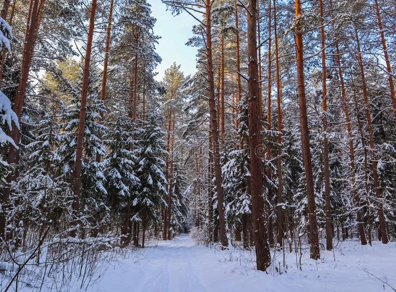 Snowy winter forest in a sunny day. White snow road and snow-covered trees royalty free stock photography