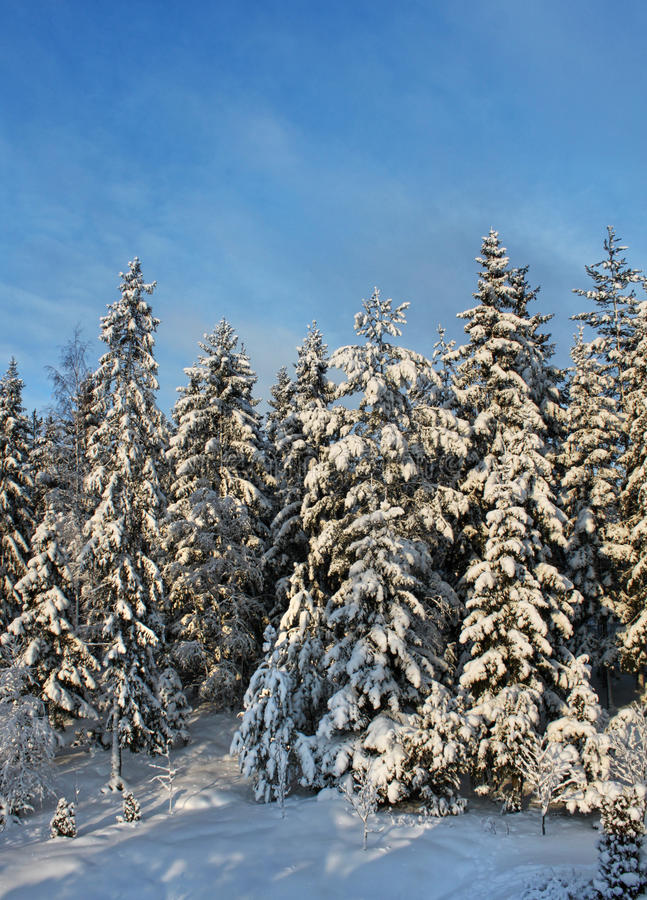 Snowy winter forest trees