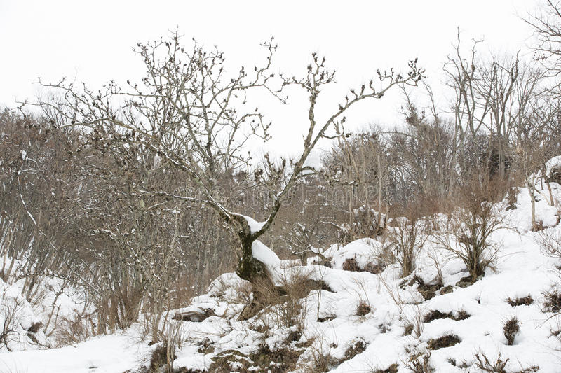 Snowy Winter Landscape. Bare brown trees and bushes with buds contrast against a white snow-covered mountainside and white overcast skies in winter stock image