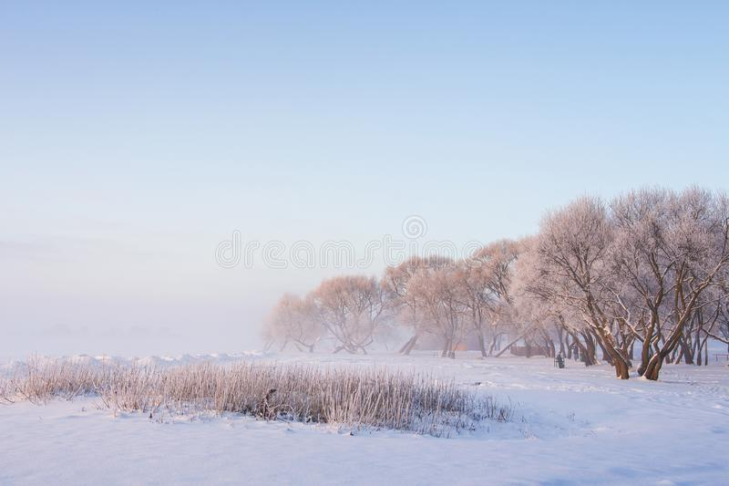 Snowy winter scene in the morning. Frosty trees on icy white meadow on clear misty morning. Winter landscape. Xmas background. Christmas time in december royalty free stock image