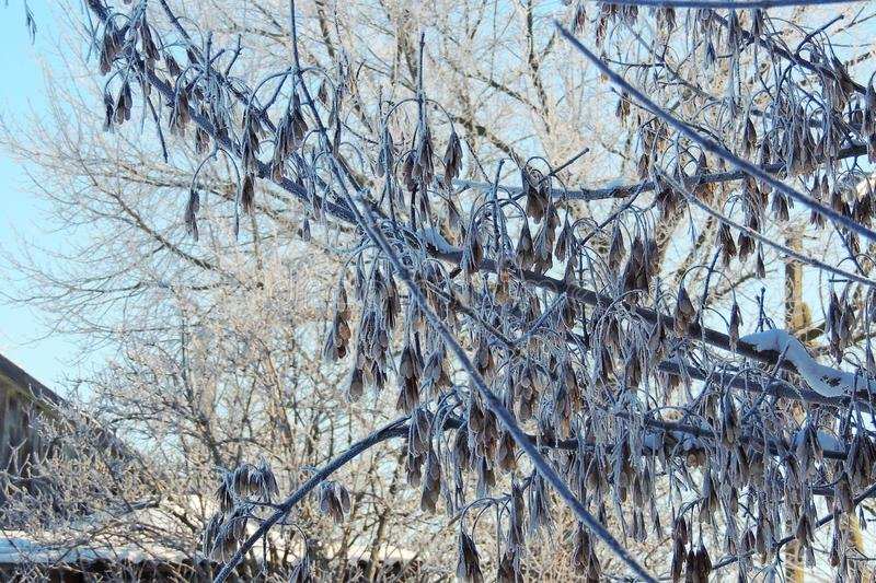 Snowy winter. snow on the branches royalty free stock photography