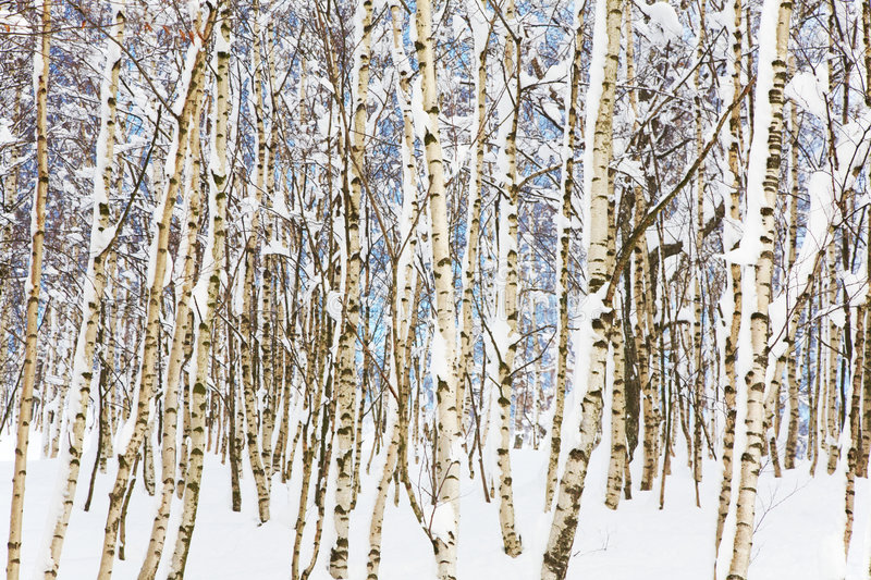 Download Snowy woods stock image. Image of landscape, wilderness - 7313047