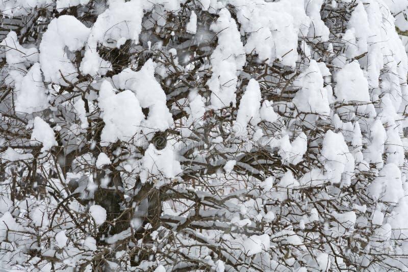 Snowy zelkova tree. Snow piled up in zelkova tree twig royalty free stock image