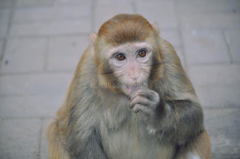 Snub Nose Monkey - Peking arkivfoton