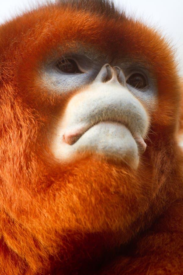Free Snub-nosed Monkey Stock Images - 22207684