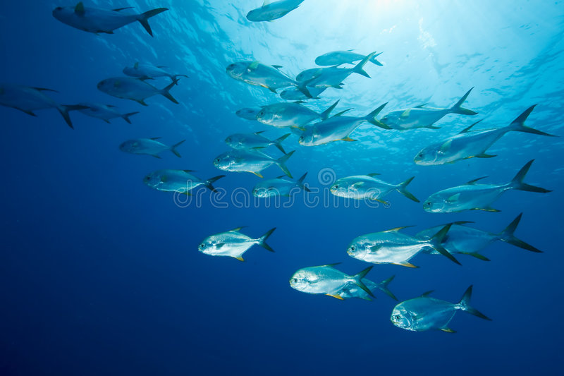 Download Snubnose pompano stock photo. Image of rays, ocean, recreation - 9026746