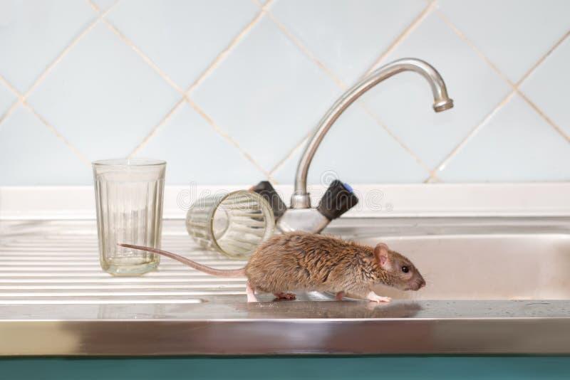 Snuffelt de close-up jonge rat op de gootsteen rond bij keuken op achtergrond van twee gefacetteerde glazen stock fotografie