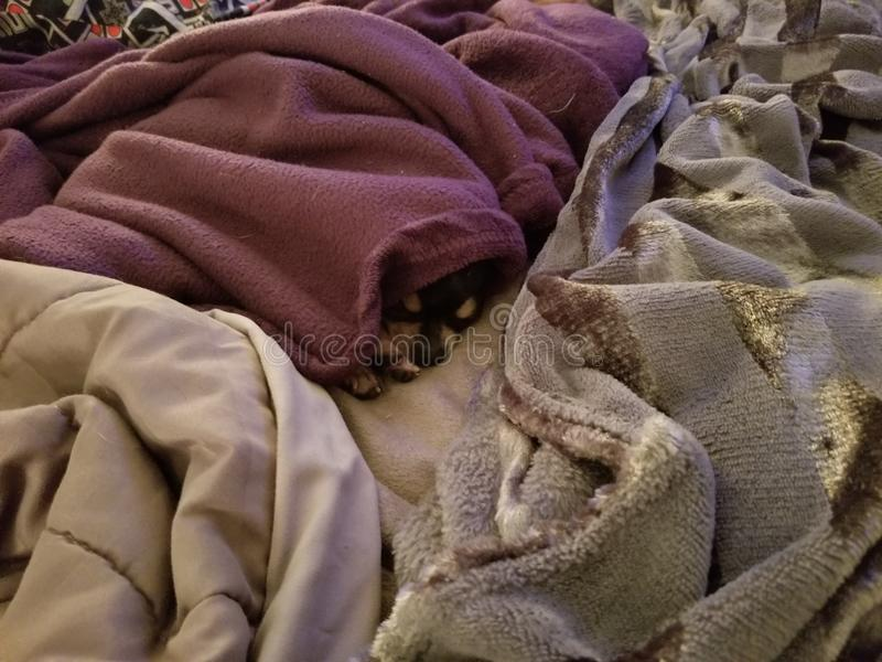 SNUGGLE PUPPY- grumpy girl!. Tiny little teacup Chihuahua taking a snooze in her stolen blanket stock photos