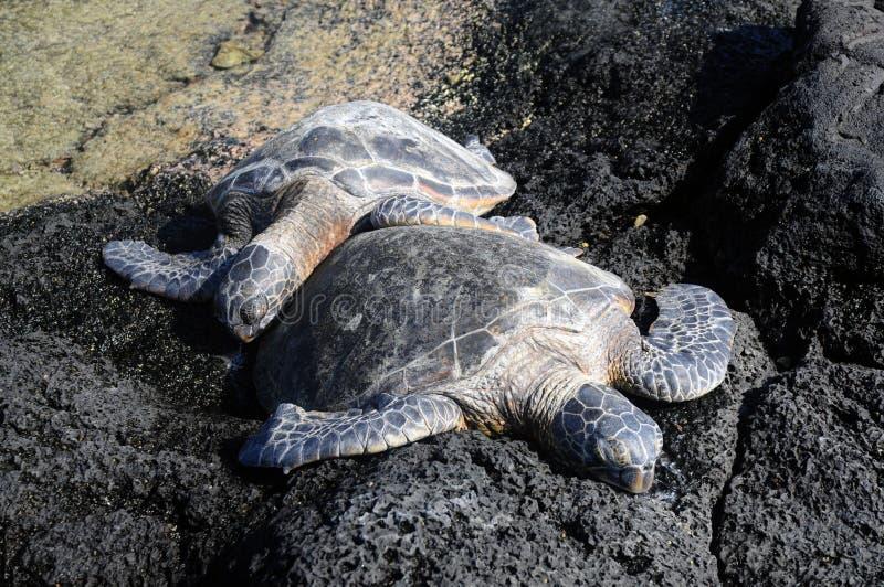 Snuggles de tortue images stock
