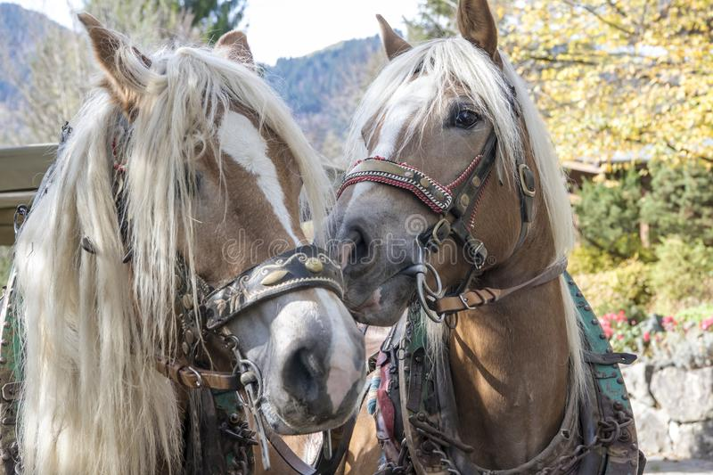 Snuggling horses of a carriage royalty free stock images