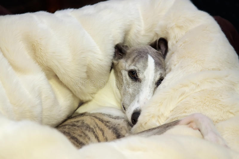 snuggly whippet obraz royalty free