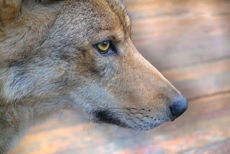 Snuit de wolf stock foto