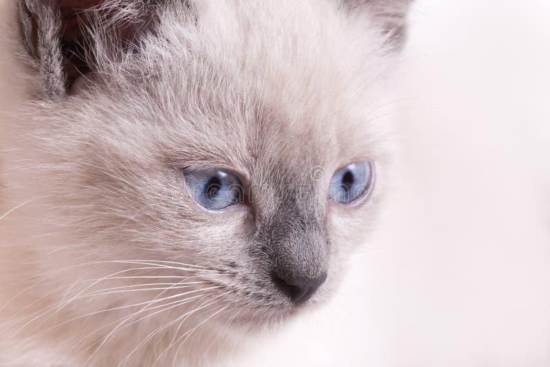 Snuit Thais katje met blauwe ogen op een lichte achtergrond stock foto's