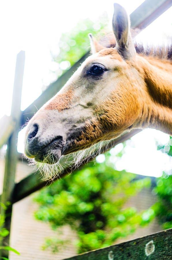 Snuit van een paard in box dichte omhooggaand stock foto's