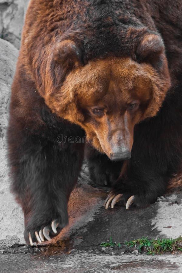 Snuit wijd dichte omhooggaande, reusachtige mok van een dier Reusachtige krachtige bruin draagt close-up, sterk dier op een steen royalty-vrije stock afbeeldingen