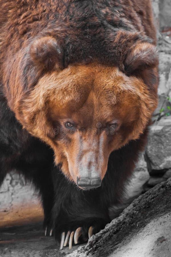 Snuit wijd dichte omhooggaande, reusachtige mok van een dier Reusachtige krachtige bruin draagt close-up, sterk dier op een steen stock fotografie