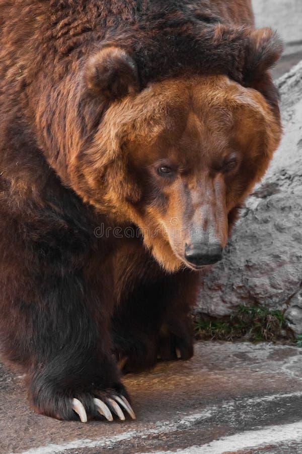 Snuit wijd dichte omhooggaande, reusachtige mok van een dier Reusachtige krachtige bruin draagt close-up, sterk dier op een steen royalty-vrije stock foto's