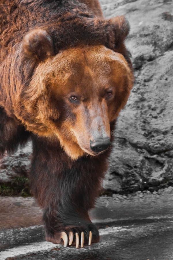 Snuit wijd dichte omhooggaande, reusachtige mok van een dier Reusachtige krachtige bruin draagt close-up, sterk dier op een steen stock foto