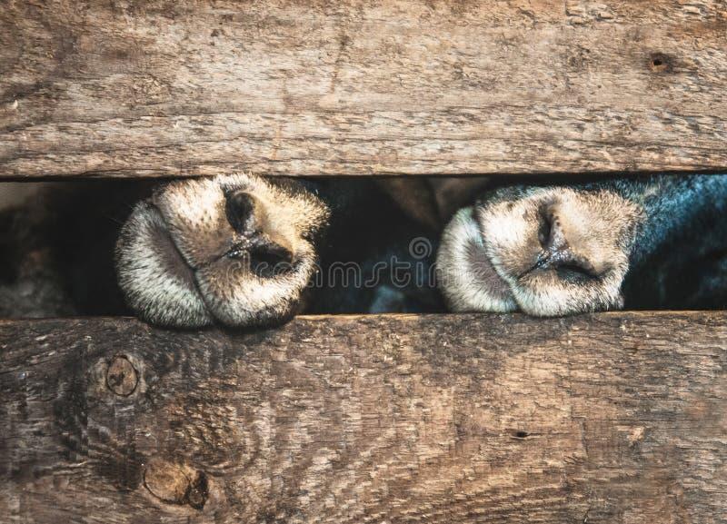 Snuitschapen en houten kooi stock foto