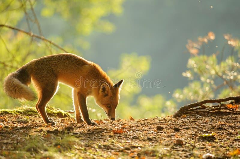 Snuivende rode vos in de schoonheidsherfst backlight royalty-vrije stock foto's