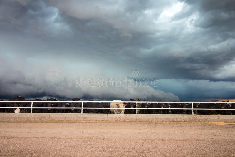 SNYDER, КОЛОРАДО - 27-ОЕ МАЯ 2019: Скотины стоят с их задними частями повернутыми к торнадо-предупреженной грозе стоковое фото