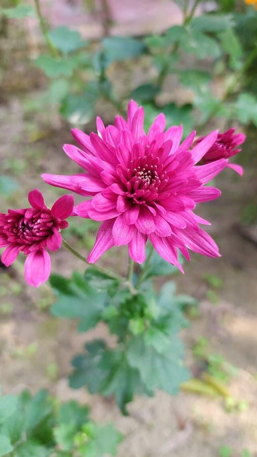 Snyggt färgstarkt Chrysanthemum eller Chandra Mallika-blomman royaltyfria bilder