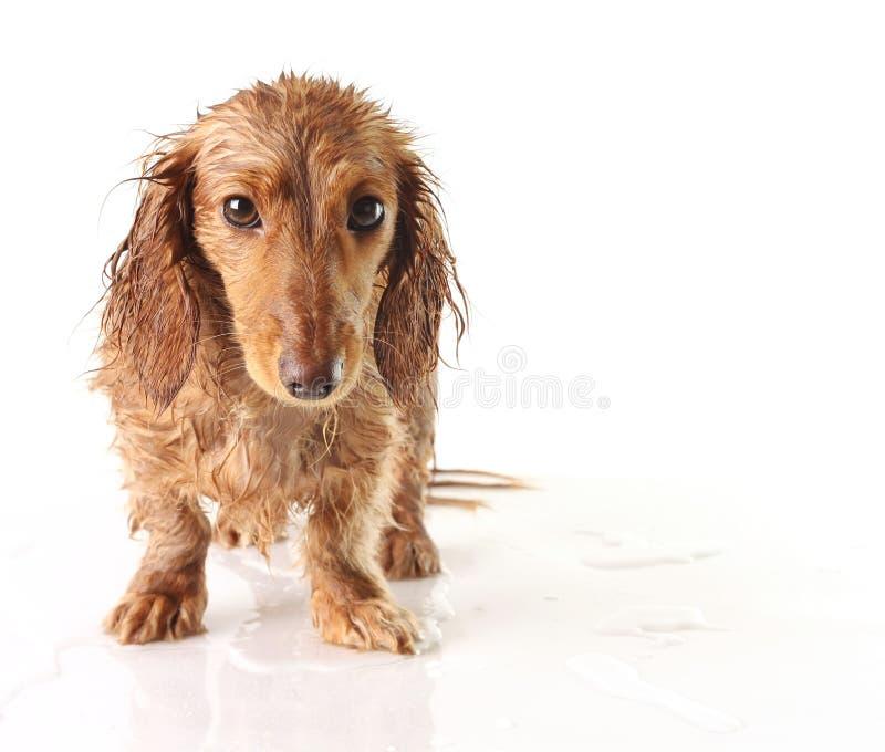 Soaked puppy royalty free stock photo