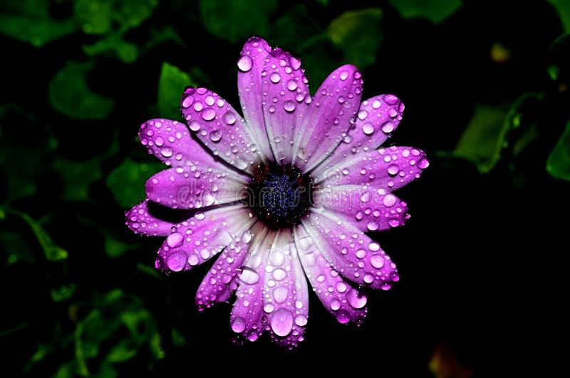 Soaked purple daisy. Droplets of rain cover the delicate petals of a purple daisy in the garden royalty free stock photos