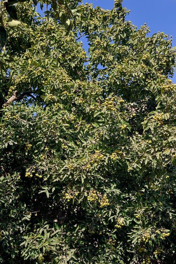 Soapberry of soapnut het gebruik van cruched zaden om zeep te maken; IDAR - District Saber Kantha Gujarat royalty-vrije stock foto's