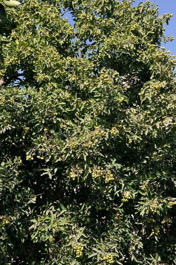Soapberry of soapnut het gebruik van cruched zaden om zeep te maken; IDAR - District Saber Kantha Gujarat INDIA royalty-vrije stock foto