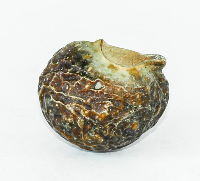 Soapberry or Soapnut. This nut is known as soapberry or soapnut because the fruit pulp is used to make soap. The drupes soapnuts contain saponins, which have stock images