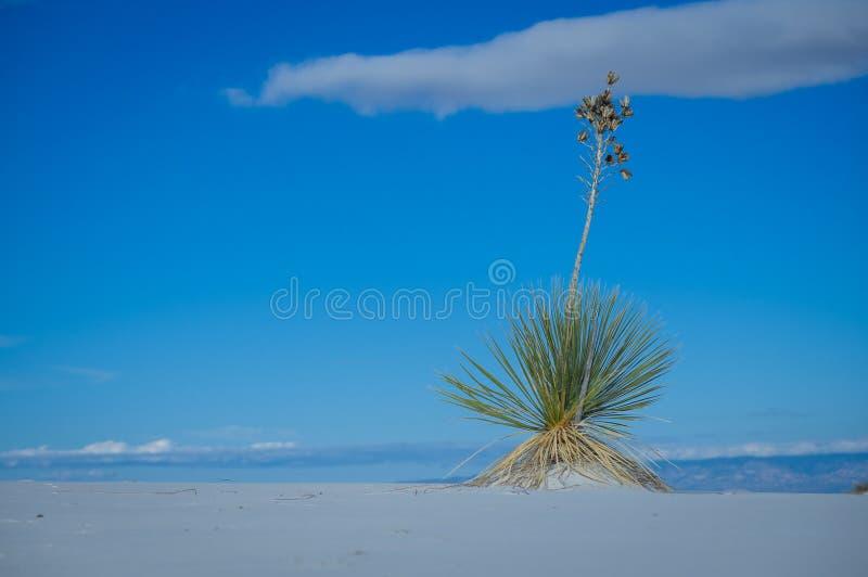 Soaptree丝兰白色铺沙与植物的国家历史文物 库存图片