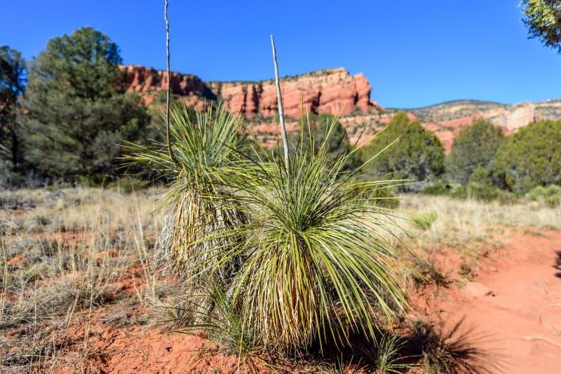Soaptree Yucca στην έρημο Sedona στοκ εικόνες με δικαίωμα ελεύθερης χρήσης
